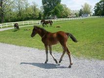 Poulain de cheval de pur sang du Vermont Photo libre de droits