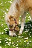 Poulain de cheval mangeant l'herbe Images libres de droits