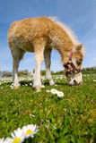 Poulain de cheval mangeant l'herbe verte Photos stock