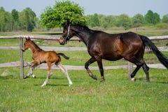 Poulain de cheval marchant dans un pré Photo stock