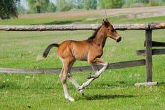 Poulain de cheval marchant dans un pré Photos libres de droits