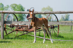 Poulain de cheval marchant dans un pré Image libre de droits