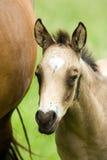 Poulain de cheval quart Photographie stock