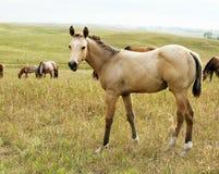 Poulain de cheval quart de peau de daim Image libre de droits
