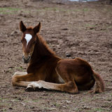 Poulain de cheval se reposant au sol Images libres de droits