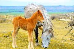 Poulain de jeunes frôlant avec le cheval de mère image stock