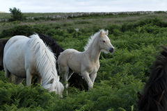 Poulain de palomino de Dartmoor Photographie stock libre de droits
