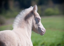 Poulain de poney Images libres de droits