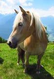 Poulain de poney d'étalon de jument de cheval dans le domaine vert dans les Alpes Photo libre de droits