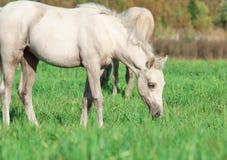 Poulain de poney de Cremello gallois dans le pâturage Images libres de droits