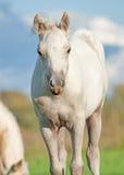 Poulain de poney de Cremello gallois dans le pâturage Image libre de droits