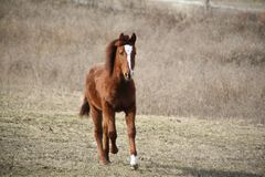 Poulain de Quarterhorse Photo stock