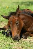 Poulain de sommeil Photos libres de droits