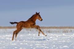 Poulain en hiver Photographie stock