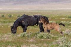 Poulain et étalon de cheval sauvage images libres de droits