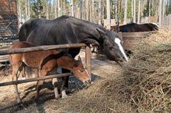 Poulain et cheval Image libre de droits