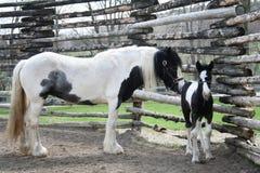 Poulain et cheval noirs et blancs mignons de maman images libres de droits