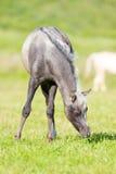 Poulain gris mangeant l'herbe dans le domaine Images stock