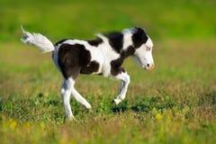 Poulain pie de poney image libre de droits