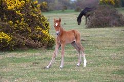 Poulain sauvage de poney de forêt Photos libres de droits
