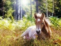 Poulain se couchant dans l'herbe Photographie stock