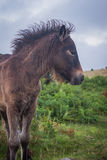 Poulain sur Dartmoor images stock