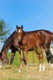 Poulain sur le ranch Photo stock