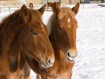 Poulains dans la neige Photo libre de droits