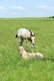 Poulains de cheval quart de peau de daim Images stock