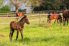 Poulains de chevaux Photographie stock libre de droits