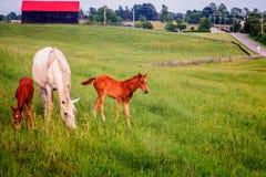 Poulains de l'esprit deux de cheval de mère Images libres de droits