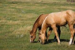 Poulains de Quarterhorse Image stock