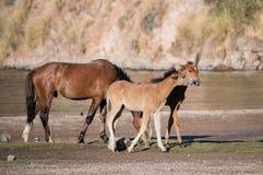 Poulains et étalon de cheval sauvage de la rivière Salt Photographie stock libre de droits