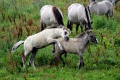 Poulains sauvages de cheval de konik Photographie stock libre de droits