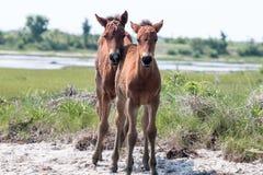 Poulains sauvages de poney de Chincoteague Photographie stock libre de droits