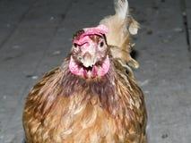 poule Photos libres de droits
