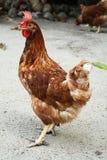 poule Images libres de droits