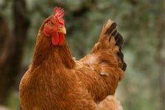 poule Image libre de droits