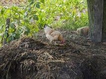 poule Image stock