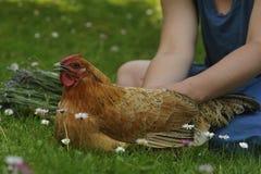 poule Photographie stock libre de droits