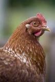 Poule Photos stock