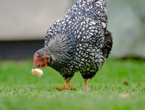 Poule adulte de Wynadotte vue manger du pain dans un jardin photos libres de droits