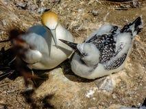 Poule Australasian de serrator de Morus de fou de Bassan et sous poussin juvénile, Photo stock