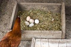 Poule avec des oeufs dans le nid Image libre de droits