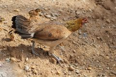 Poule avec des poussins de poulets de bébé marchant ensemble à une ferme, poulet de enseignement protecteur de bébé de poulet de  Images stock