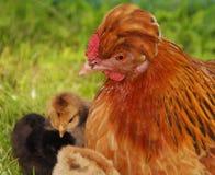 Poule avec le poulet Photographie stock libre de droits