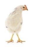 Poule blanche Image libre de droits