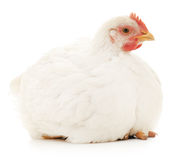 Poule blanche Images stock