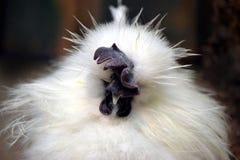 Poule blanche exotique photo libre de droits