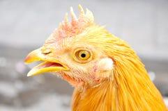 poule brune   Photos stock